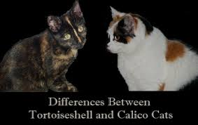 Differences Between Tortoiseshell and Calico Cats - PetHelpful - By fellow  animal lovers and experts